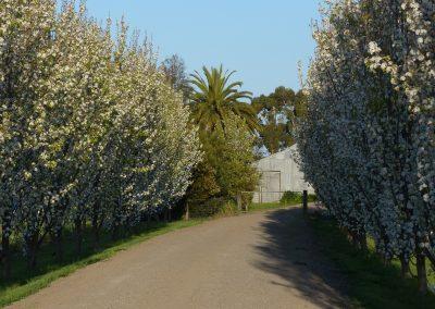 Avenue of ornamental pears - Private Garden